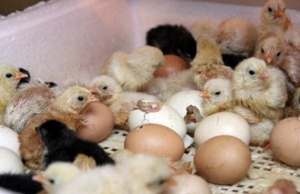 ayam menetas dari telur