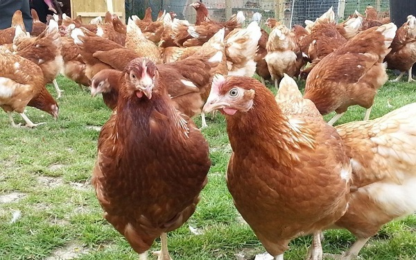 ayam rhodonit