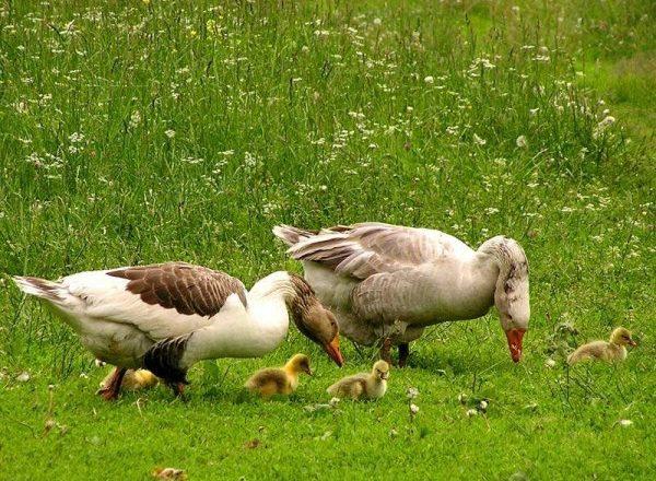 Memberi makan goslings