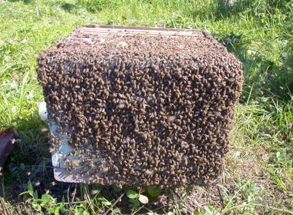 Lebah kawanan