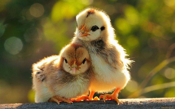 ayam yang semakin berkembang di rumah
