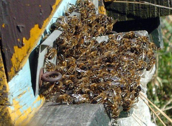 Lebah mati