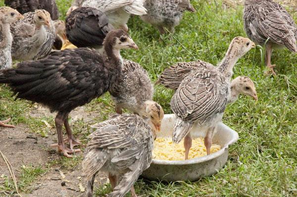 Ayam Turki