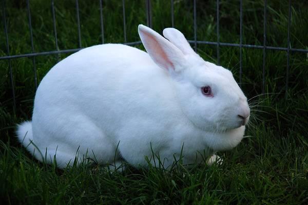Kelinci putih dalam valier