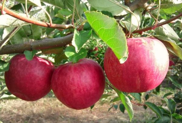 Jenis pokok Apple Kemuliaan kepada pemenang: ciri-ciri deskriptif