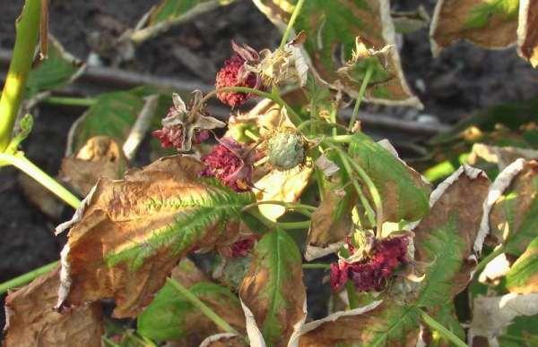 Raspberry kering