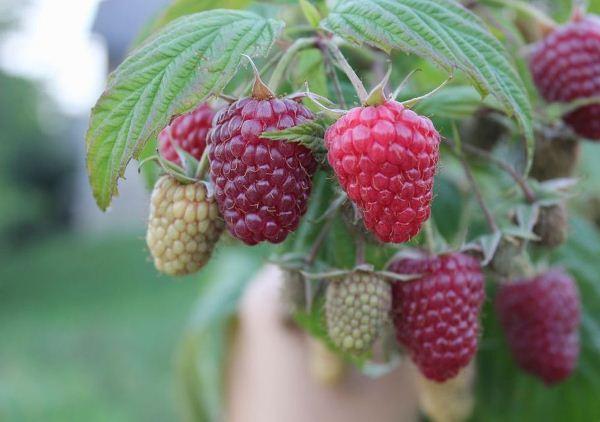 Polka pelbagai raspberry