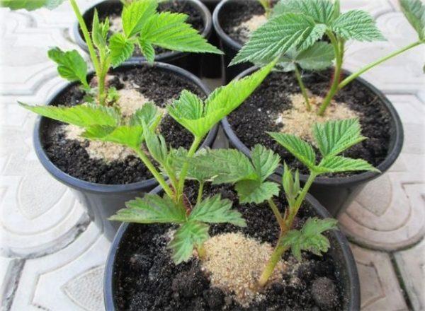 Pengeluaran semula raspberi: cara dan kaedah, ciri penanaman benih
