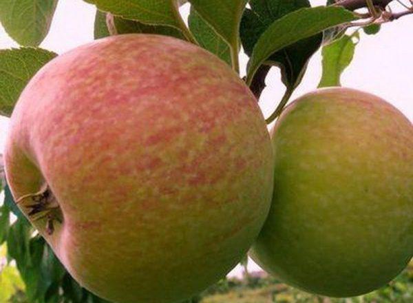 Pelbagai pokok epal Gula-gula: ciri-ciri deskriptif, peraturan penanaman dan penjagaan