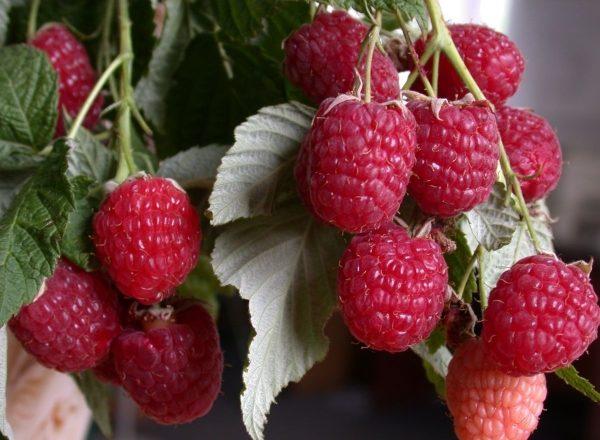 Varieti raspberry Polana: ciri-ciri pelbagai, peraturan penanaman dan penjagaan