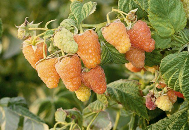 Raspberry Orange Miracle