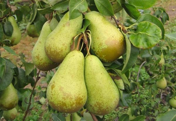 Pelbagai Persidangan Pear