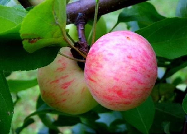 Apel apel