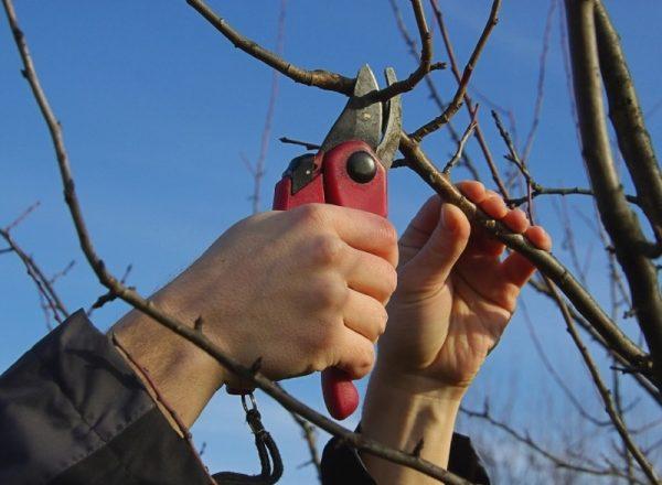 Skim dan ciri-ciri pemangkasan pokok pir di musim bunga, musim luruh, musim sejuk dan musim panas