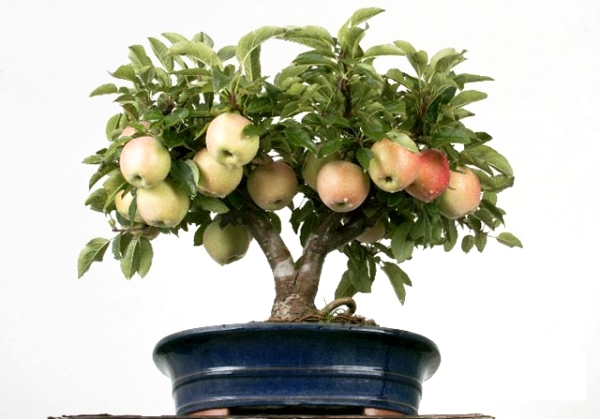 Bagaimana untuk menanam pokok epal dari biji di rumah: arahan