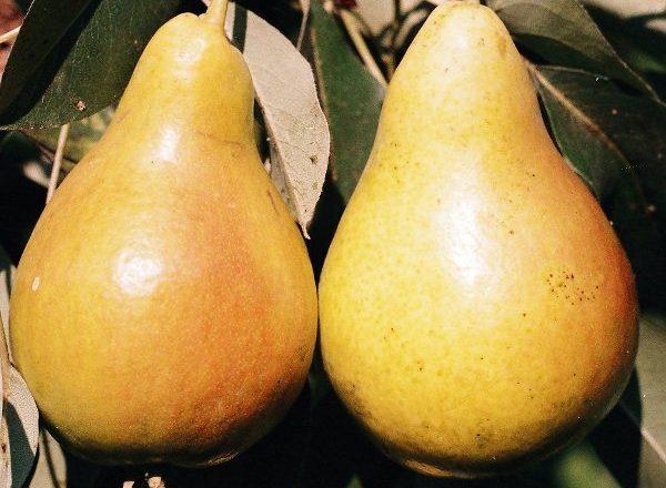 Pear Chizhovskaya