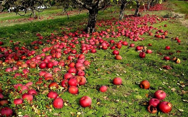 Punca kejatuhan epal