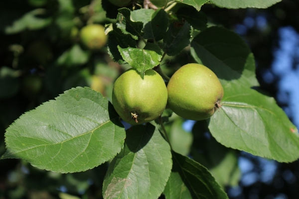Apa yang boleh dilakukan dan bagaimana untuk memohon epal tidak matang?