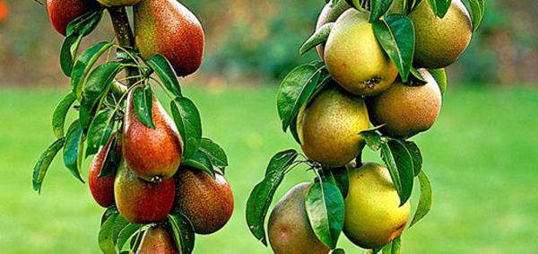 Pear Coloniform