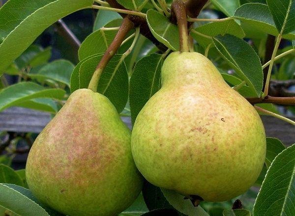 Pelbagai Veles Pears