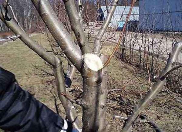 Pemangkasan epal