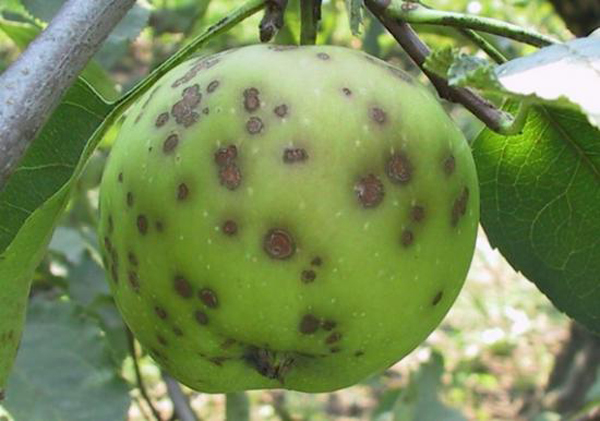 Apple Scarred