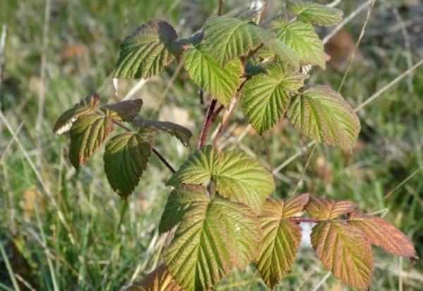 Menanam raspberi pada musim gugur: ciri penanaman dan penjagaan