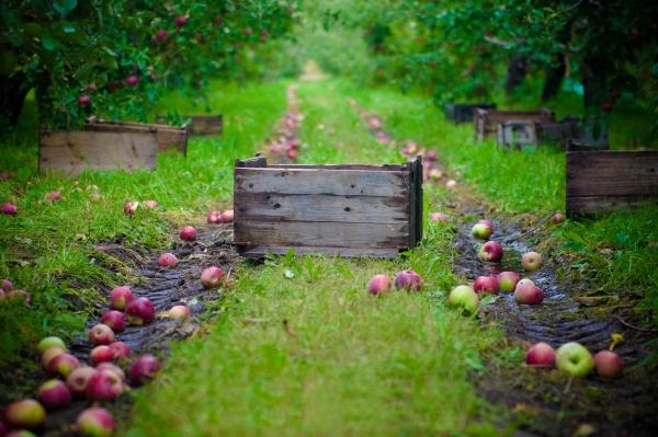 Bagaimana dan kapan untuk mengumpul epal untuk penyimpanan untuk musim sejuk: tip