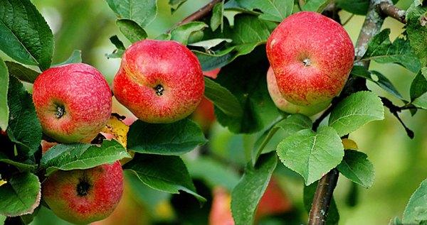 Pokok epal Bellefle Cina