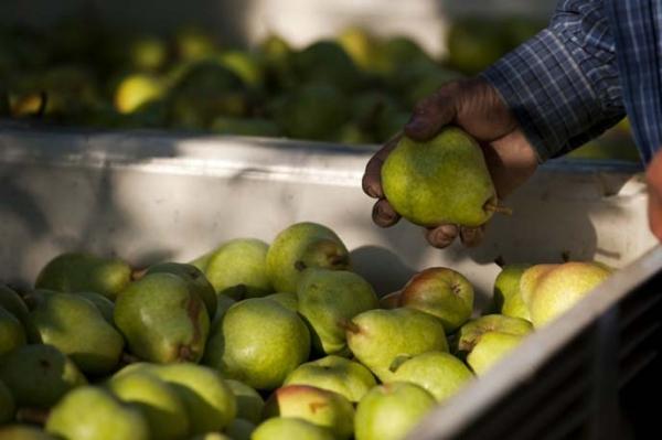 Apabila membuang pear dari pokok: masa masak, syarat penyimpanan tanaman
