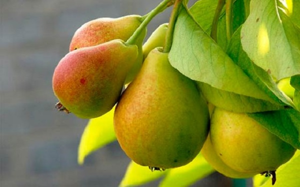 Pear Just Maria