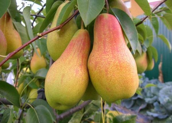 Kecantikan Pear Talgar