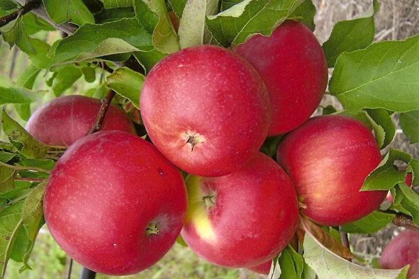 Buah-buahan Apple Tree Welsey