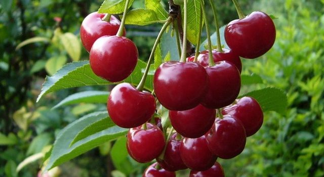 Lubskaya Cherry