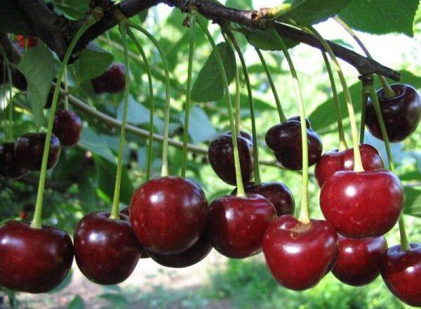 Pelbagai peminat Cherry