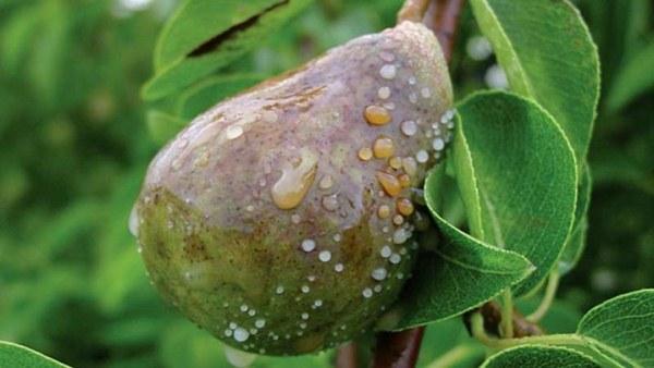 Penyakit pear