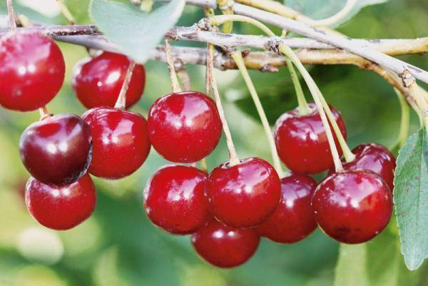 Cherry Ural Ruby