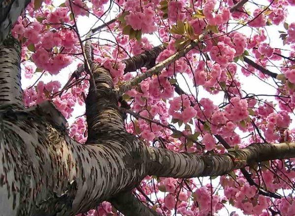 Sakura ceri Jepun: ciri-ciri deskriptif pokok, penanaman, penjagaan, jenis