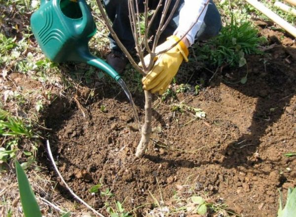 Tahap dan faedah penanaman ceri pada musim gugur, pilihan benih dan tempat