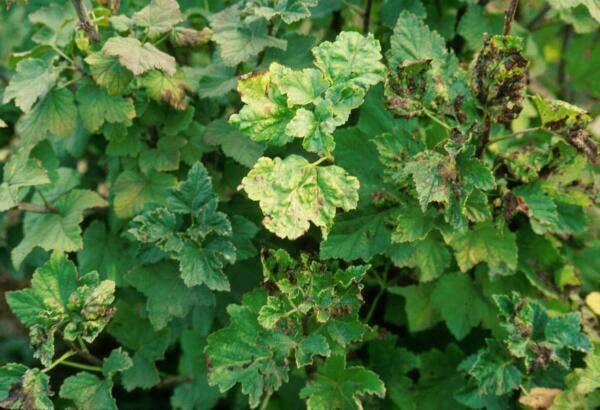 Aphids pada daun currant