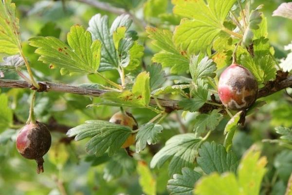 Penyakit utama dan perosak gooseberry dan kawalan mereka, langkah pencegahan, tip berguna