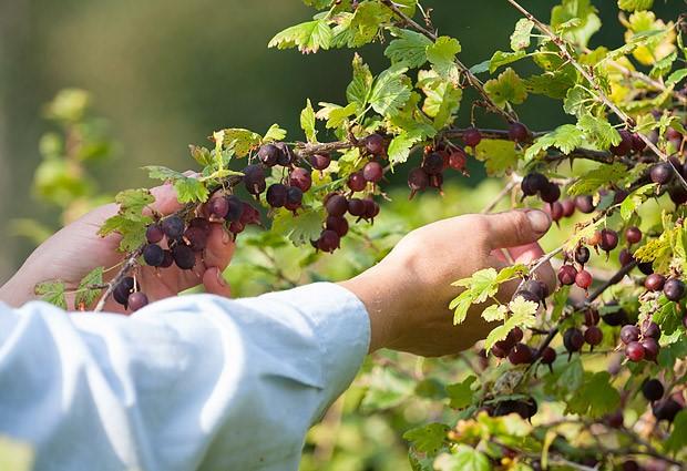 Menjaga gooseberry pada musim gugur