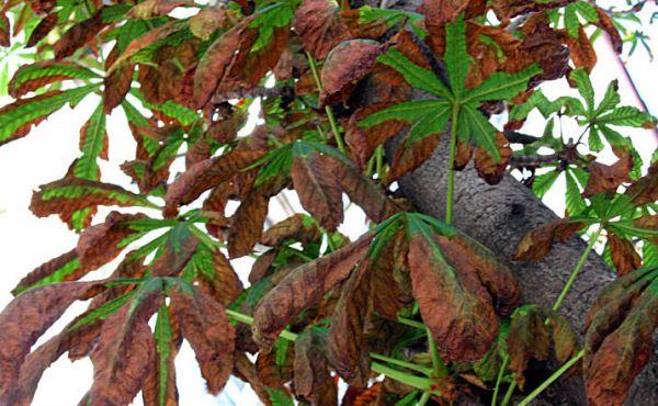 Penyakit chestnut