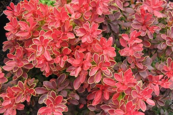 Penerangan dan ciri-ciri varieti barberry Thunberg, penanaman dan penjagaan