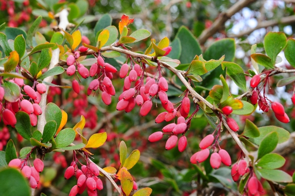 Deskripsi botani barberry biasa, berguna, penanaman dan penjagaan