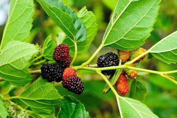 Mulberry: ciri-ciri dan sifat berfaedah daun dan buah-buahan