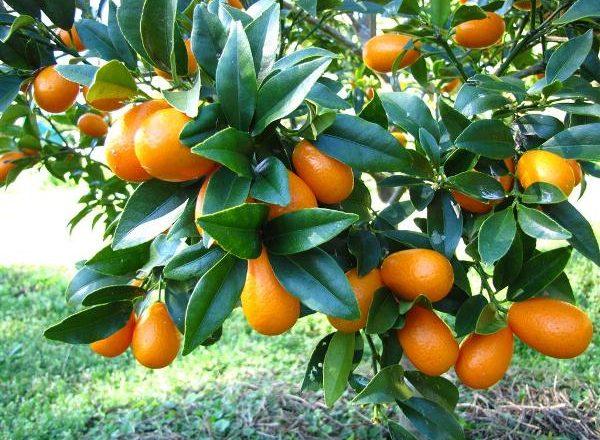 Kumquat Buah Tropika