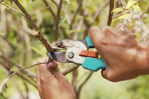 Pokok buah pemangkasan: mengapa perlu dan bila ia dilakukan?