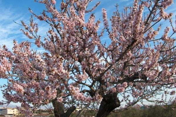 Penerangan terperinci pohon badam, penanaman dan penjagaan