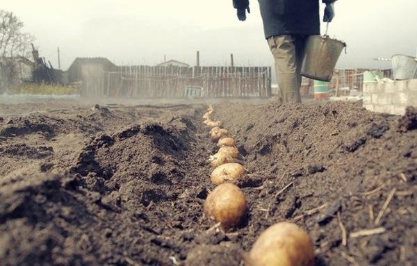 Menanam kentang di rantau Leningrad